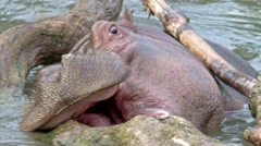Young hippo in the branches Stock Footage