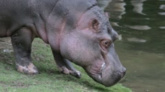 Young hippo go into water Stock Footage