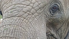 African bush elephant - skin detail Stock Footage