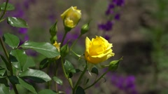 Yellow roses on the branch. The background is out of focus Stock Footage