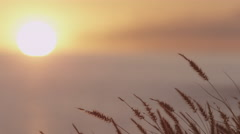 4K: Shallow Focus Sunset With Foxtails On Coast Stock Footage