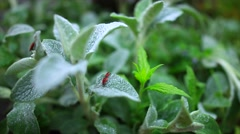 Bug sitting on a leaf lemon balm during sunrise Stock Footage