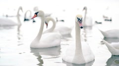 A flock of beautiful white swans swimming in the lake Stock Footage