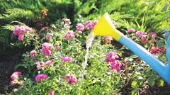 Watering rose bush at sunset Stock Footage