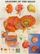 Anatomy of human brain. Stock Photos