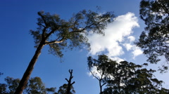 Australia Yarra Ranges gum tree and clouds Stock Footage