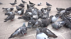 Many pigeons eating bread crumbs. Slow motion Stock Footage