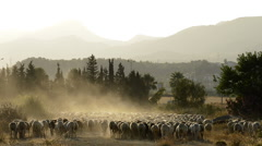 Flock of sheep moving away in a cloud of dust at sunset - stock footage