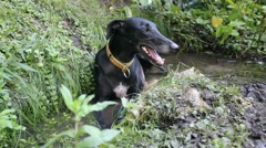 A black Greyhound is laying in the water in a garden Stock Footage