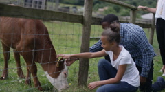 4K Families at community farm, father & daughter petting cow through fence Stock Footage