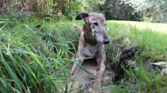 Old grey greyhound in the water Stock Footage