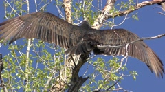 Turkey Vultures aka Buzzards Drying Wings in Tree Stock Footage
