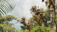 Emergent tree festooned with epiphytes on a ridge top in cloud forest - stock footage
