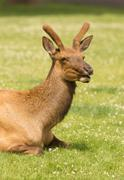 Young Bull Elk Western Wildlife Yellowstone National Park Kuvituskuvat