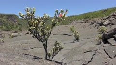 ōhiʻa lehua Tree with Flowers Colonizing Lava Field in Hawaii Volcanoes Park Stock Footage