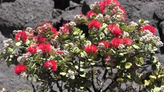 Ohi'a Tree Colonizing Lava Field at Hawaii Volancoes National Park Stock Footage