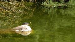Turtle sunbathing on rock lake Stock Footage