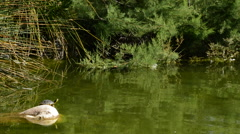Little turtle sunbathing on rock lake Stock Footage