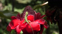Green Anole Lizard on Colorful Red Ginger Flower in Hawaii Paradise Stock Footage