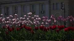 Light lilac and deep red tulip on flower bed at city square, slow motion shot Stock Footage