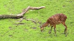 Western Sitatunga eating grass Stock Footage