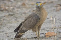 Crested Serpent Eagle on the Ground Stock Photos
