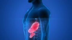Human Body Organs (Stomach Anatomy) Stock Footage