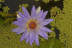 Water lily;lotus;colorful aquatic flower Stock Photos