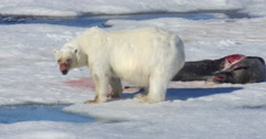 Polar bear drink water from the sea near seal corps at Spitsbergen Norway Stock Footage