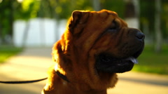 Young woman walking in the park with a Shar-Pei Stock Footage