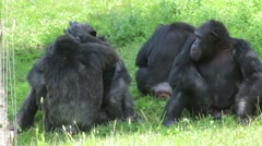 Four Siamang Gibbon in a Grass Field Stock Footage