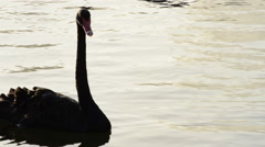 Black swan swimming in a calm lake at sunset Stock Footage