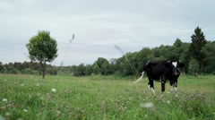 Cow in the field chewing grass - stock footage