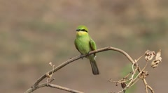 Little green bee eater Stock Footage