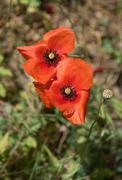 Fresh red poppy anemone flowers Stock Photos