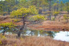Kemeri swamp landscape - stock photo