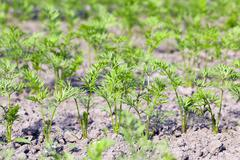 Field with carrot Stock Photos