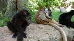 Madagascar lemurs. Stock Footage