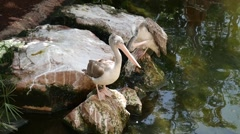 Two pelicans on the rocks, Stock Footage