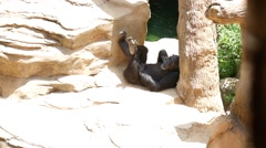 Chimpanzee resting in a zoo. Stock Footage