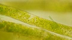 Algae Vausheria (algae bloom) under microscope, magnification 100X Stock Footage