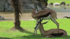 Two Springbok in the Wild Stock Footage