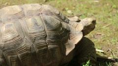 Aldabra Giant Tortoise Stock Footage