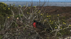 A booby and frigatebird nesting on isla genovesa in the galapagos Stock Footage
