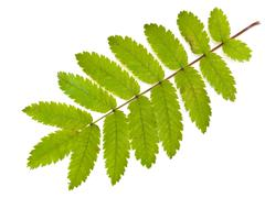 Wild Ash Leaf Stock Photos