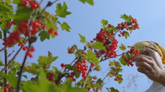 Red currant hanging on the tree. Stock Footage