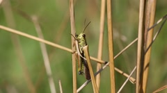 Grasshopper sitting on a blade of grass Stock Footage