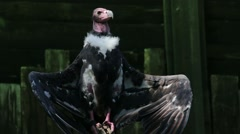 Red Headed Vulture with Open Wings Stock Footage