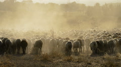 Livestock, cattle sheep walking at sunset - stock footage