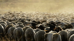 Cattle sheeps walking at sunset in a big dust cloud, livestock - stock footage